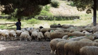 Aydın'da Koyun-keçi Destek Ödemeleri Başladı