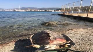 Ölü Deniz Kaplumbağası Kıyıya Vurdu