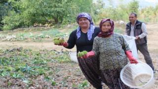 Aydın ve İzmir'de kestane hasat sezonu başladı